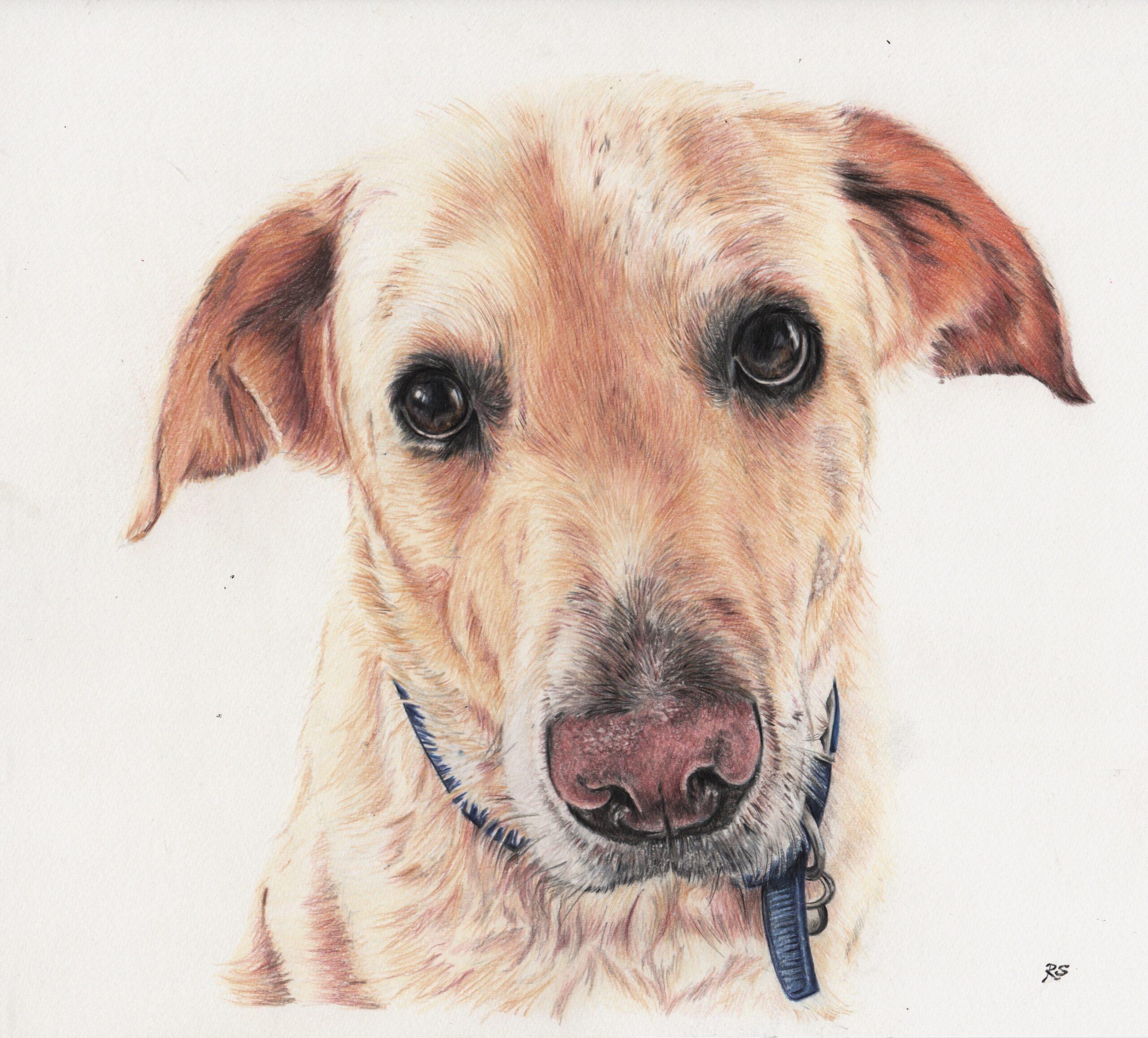 Colour-Golden Labrador